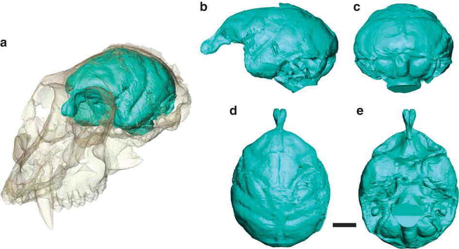 Monkey skull 1