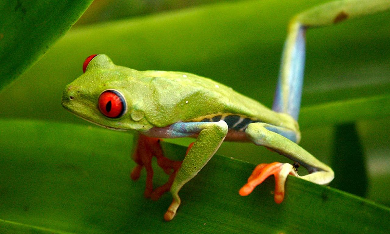 tropical rainforest tree frogs