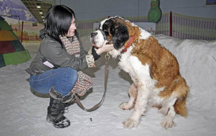 Beautiful st bernard gets last wish fulfilled by playing in snow