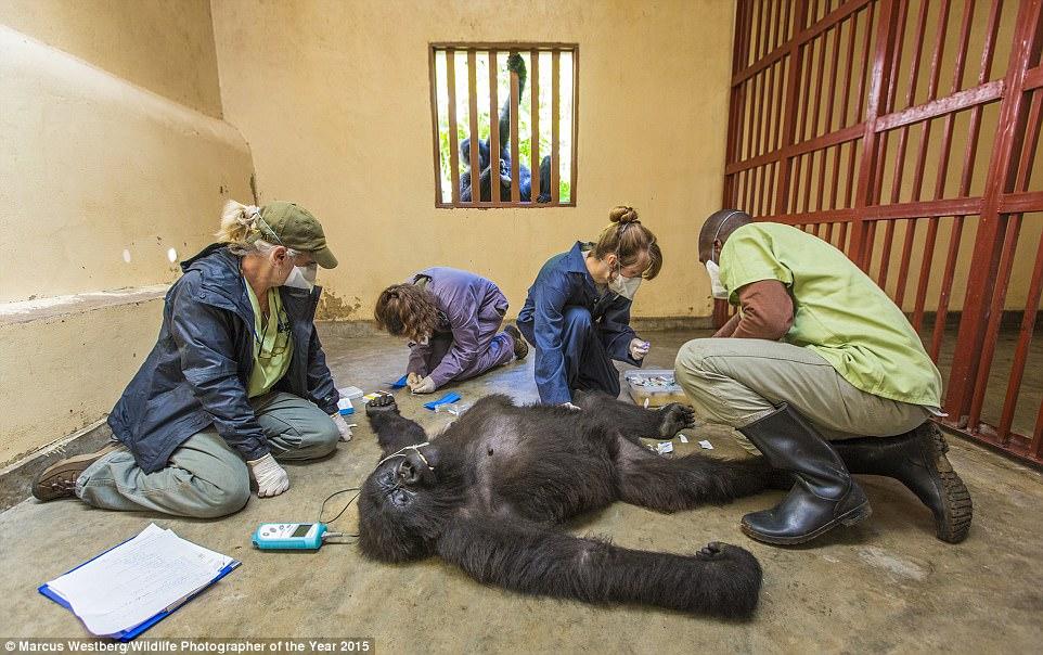 Via Marcus Westburg/Wildlife Photographer of The Year 2015