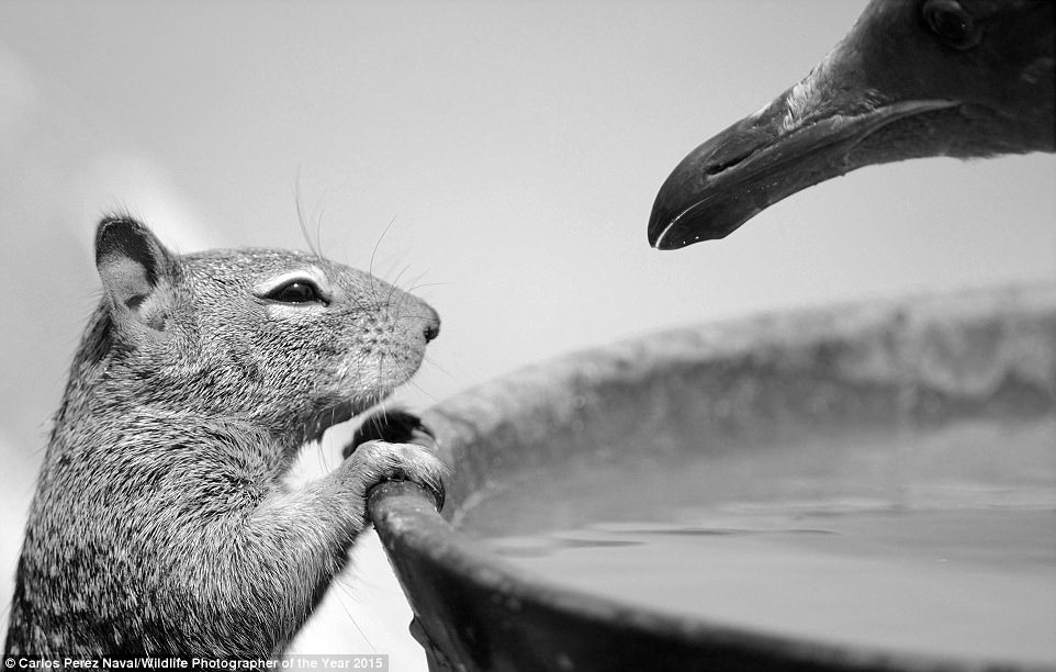 'To Drink or Not' by Carlos Perez Naval, Wildlife Photographer of The Year 2015