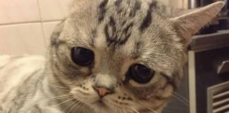 Luhu, The World's Saddest Cat