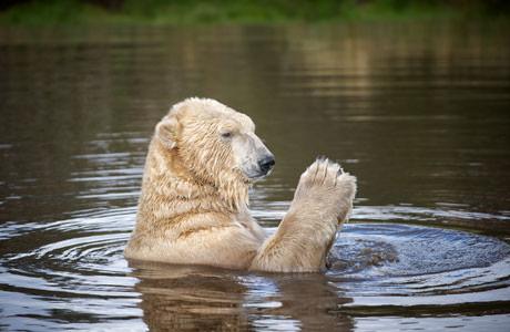 14_07_15_polarbear_arktos_male