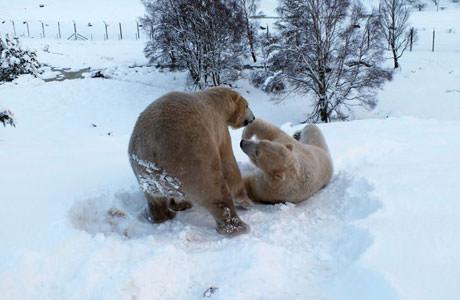 15_01_28_polarbear_males_snow