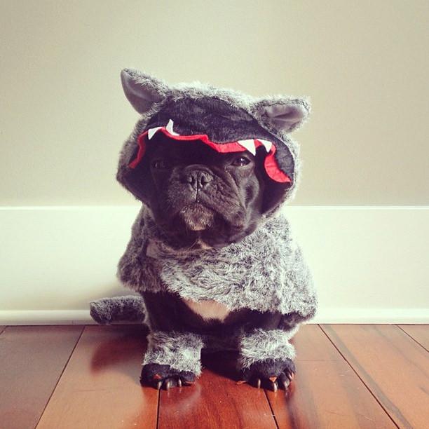 french-bulldog-voolas-9