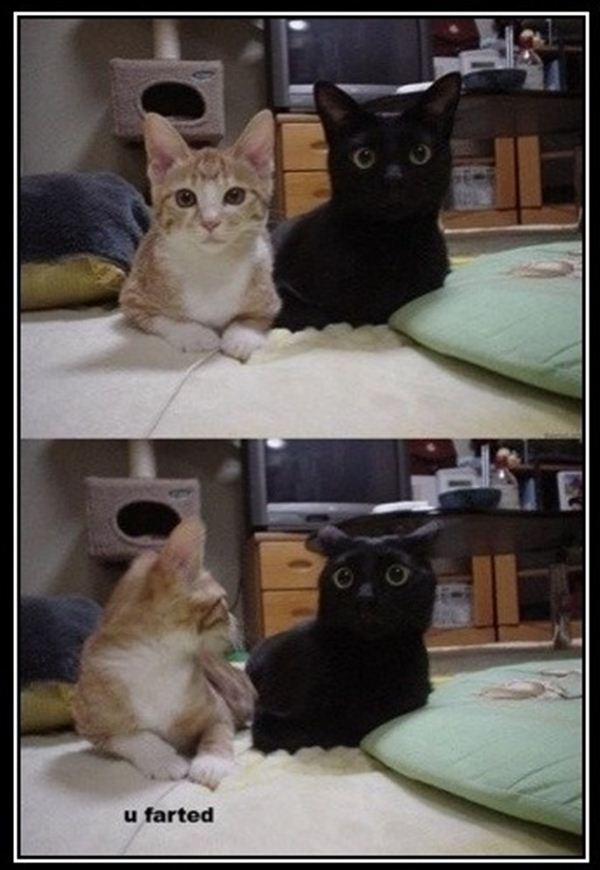 crazy cat lady memes 2e